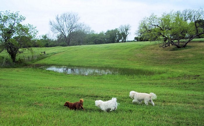 Lin's puppies, having a blast at Heyne Ranch.  Photo provided by Lin Sutherland.