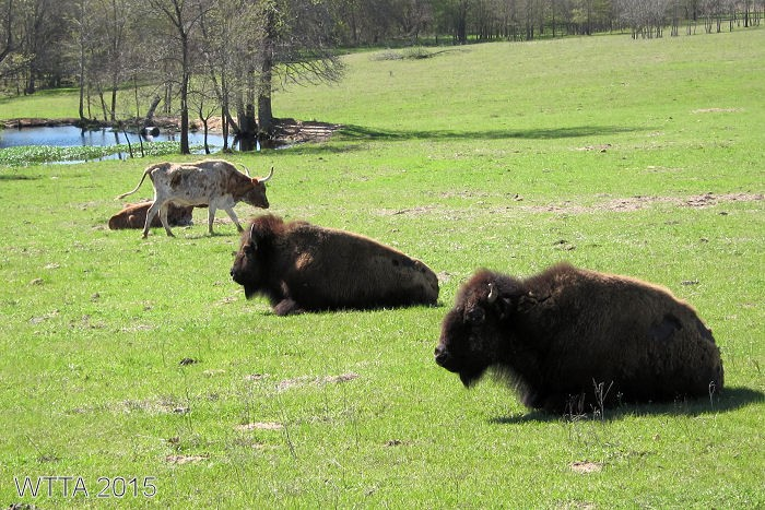 Buffalo and longhorn seen from Appaloosa Trail.