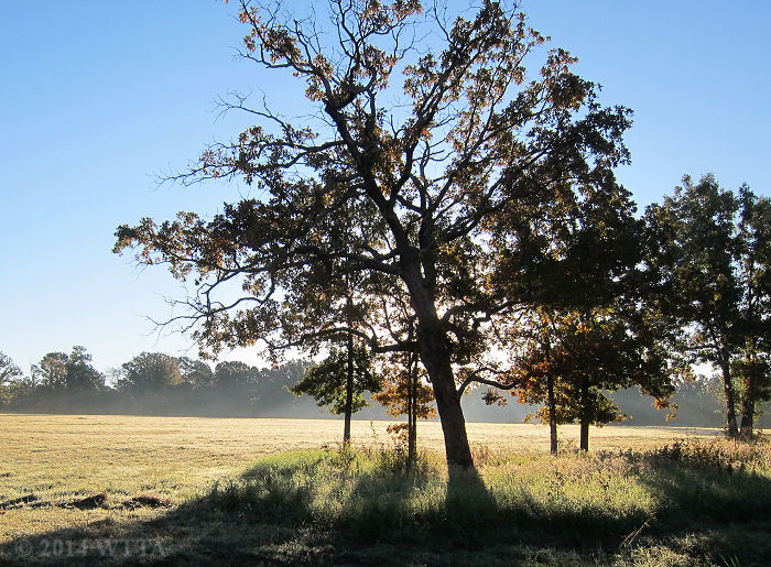A post oak tree is highlighted by the early morning sun at Trace Trails.